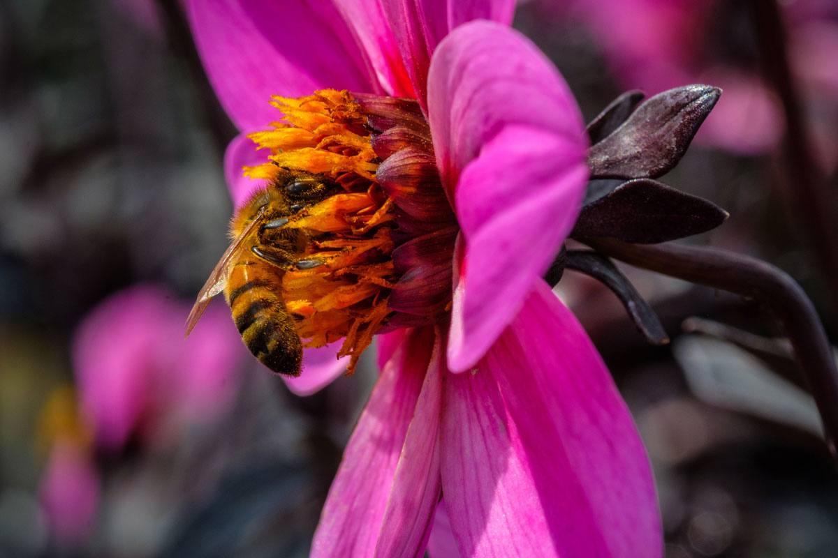 magenta coloured dahlia being visited by a honey bee