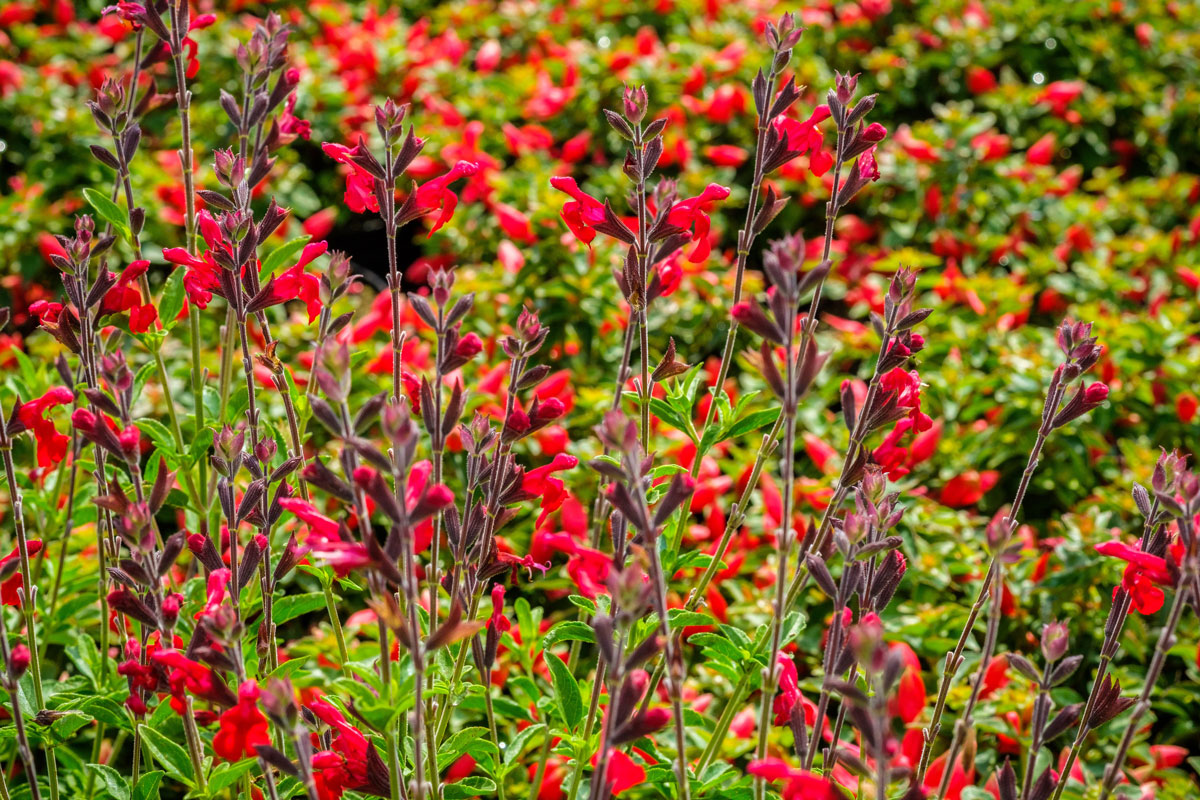 penstemon planting in a large group for maximum impact