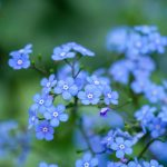 stunning close up of forget me not flowers